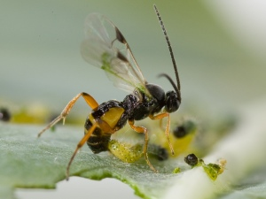 Parasitic wasp laying eggs into a caterpillar