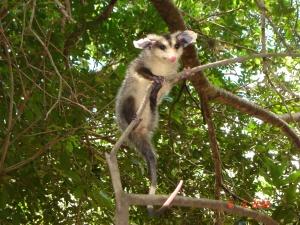 opossum1_Setz
