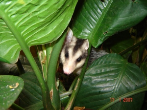 opossum4_Setz