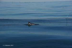 Porpoise in a pound net