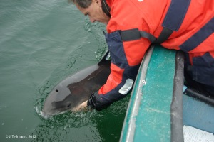 Porpoise release after tagging