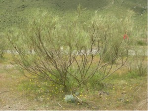 An intact Retama sphaerocarpa nurse plant system in the semi-arid lowland of southeastern Spain with the nurse shrub and its understory community of beneficiary species.