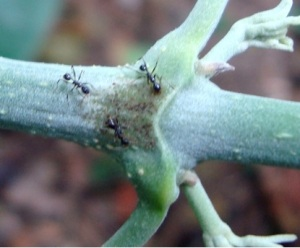Ants collecting extrafloral nectar on a plant in the fieldwork.