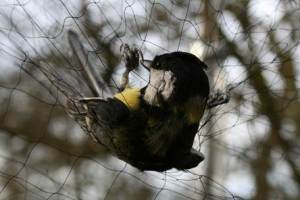 mistnetted great tit
