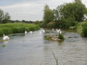 A flock of mute swans feeding on submerged plants in a shallow rive