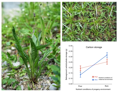 Ribwort plantain in a natural population and in our cultivation. Graph shows the higher level of carbon storage in offspring grown in maternal than in non-maternal nutrient environment.
