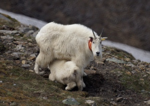 Mountain goat suckling