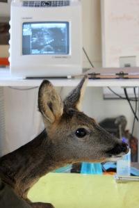 roe deer ecographie