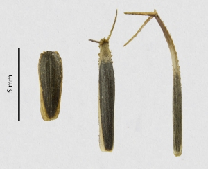 Different fruits of Heterosperma pinnatum. Left: an unawned fruit of the type that usually remains some 10–20 cm from the mother plant. Right: a fruit with awns on top of a long beak that projects away from the mother plant. When an animal passes by, the exposed awns become attached to its fur and the fruit is dispersed over a long distance. Middle: an intermediate fruit with awns but no beak. Photo: LFVV Boullosa.