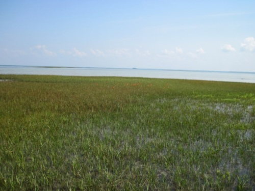 spartina_salt_marsh