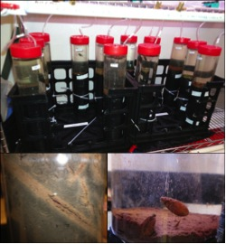 Fig. 3. Sediment cores used to evaluate invertebrate effects on nutrient release (top). Native chironomids created oxygenated burrows (bottom left), while invasive mussels stimulated nutrient release at the sediment surface (bottom right).