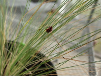 A pink spotted ladybird and bird cherry-oat aphids on Arizona fescue. In our experiment, pink spotted ladybirds avoided aphids that had been feeding on grasses infected with hybrid Neotyphodium endophytes.
