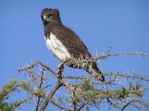 Black-chested snake eagle, Circaetus pectoralis