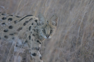 The serval, Leptailurus serval