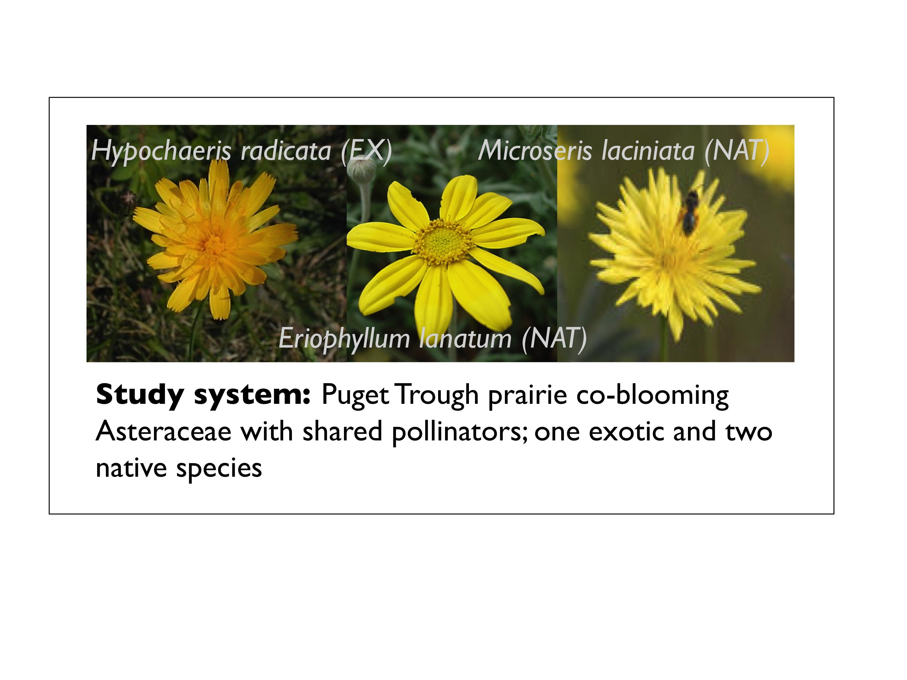 Invasive Flowers Pollinators And Native Flowers Oikos Blog