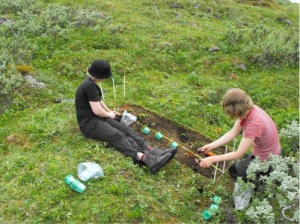 Studying plant-plant interactions. Planting seedlings of lowland and tundra forbs to a subplot without neighboring vegetation at a low altitude site.