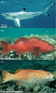 Figure 2. Apex predator models. (a) Blacktip reef shark, (b) large coral-grouper and (c) small coral-grouper.