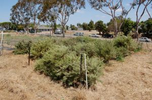 California Sagebrush experimental garden plot