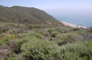 Coastal Sage Scrub community in the Santa Monica Mountains with Californica Sagebrush in foreground