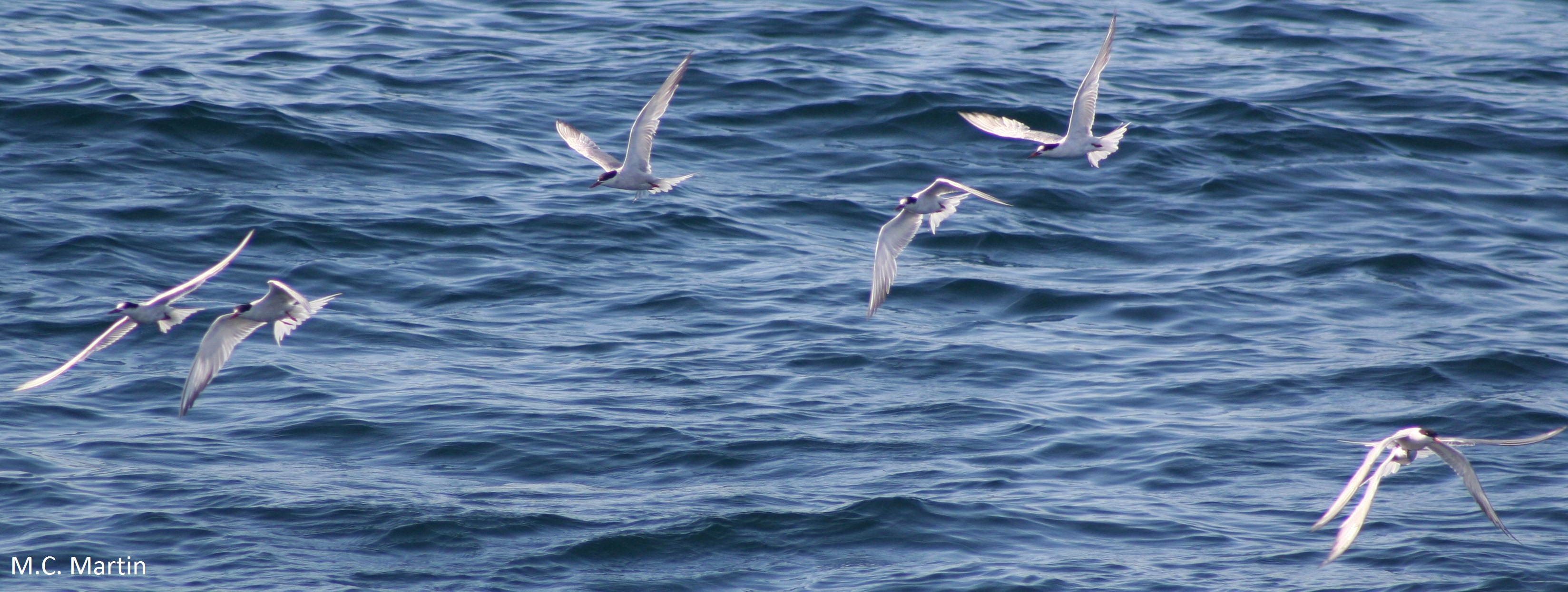 Tuna tern facilitation oikos blog for Does tuna fish have scales
