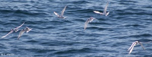 common terns (Sterna hirundo) observed during a pelagic survey, 27 Sep 2006 (Photo:Marie-Caroline Martin).