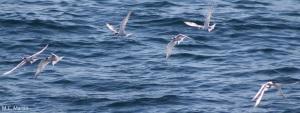 common terns (Sterna hirundo) observed during a pelagic survey, 27 Sep 2006 (Photo:Marie-Caroline Martin).