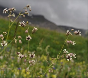 """Silene vulgaris plants infected with a pathogen that replaces pollen with dark fungal spores.  The flowers' dirty appearance earned the disease its name, """"anther smut""""."""