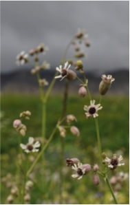 Infected Silene vulgaris at the Col du Galibier, France.