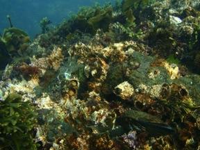 Suspension-feeding POM consumers (dominated by Balanus here) in shallow subtidal habitats of western San Juan Island. Photo: A. Galloway 2012.