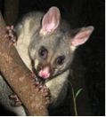 Common brushtail possum (Trichosurus vulpecula)