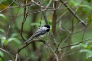Figure 3. Black-capped chickadee with a captured caterpillar in one of the forest sites used to study bird predation of caterpillars in Connecticut. Photo by Christian Skorik.