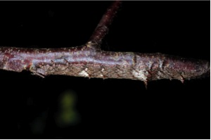 Figure 6. A camouflaged caterpillar species (Catocala ultronia) on its host plant, black cherry, at one of the forest sites used in this study. Photo by Michael S. Singer.