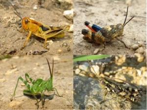 Grasshoppers1