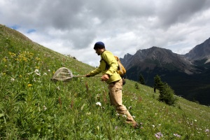 Sampling plant-pollinator interactions in a low-alpine meadow in Kananaskis Country, Alberta, Canada. Photo credit: Martin Fees.