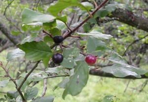 Frangula alnus bicolored fruit display