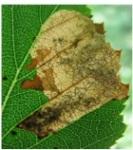 B: leaf mining by Eriocrania sparmanella