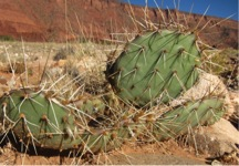 A nonspiny cactus plant