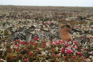 Perfectly camouflaged shorebird chick with its 'not so camouflaged' parent, on the beautiful high Arctic breeding grounds © Pavel Tomkovich