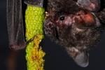 Carollia perspicillata eating Piper hispidum (Sao Carlos, Brazil)  (Marco Mello)