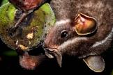 Platyrrhinus lineatus eating Diospyros hispida (Sao Carlos, Brazil) (Marco Mello)