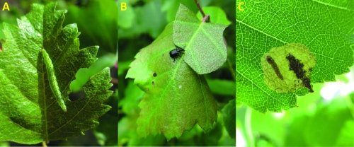 Figure 4. Common insect species on silver birch belonging to the orders Lepidoptera, Coleoptera and Hymenoptera. A) White-shouldered smudge (Ypsolopha parenthesella), B) Birch leaf roller (Deporaus betulae) and C) Early birch leaf edgeminer (Fenusella nana). Photo credits: Kaisa Heimonen.