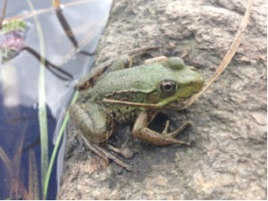 Fig. 1. Recently metamorphosed green frog (Lithobates clamitans) at the edge of a pond (photo by Laura Martin)