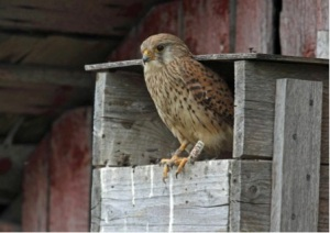 A female kestrel with metal and colour rings in the front of the nest-box. Photo: Benjam Pöntinen.