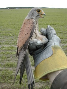 A +1-year old male kestrel on hand after trapping. Photo: Erkki Korpimäki.