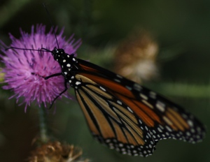 Monarch butterfly (Danaus plexippus) on invasive plumeless thistle (Carduus acanthoides). Photo credit: Laura Russo